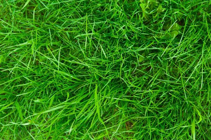 Gulf Annual Ryegrass