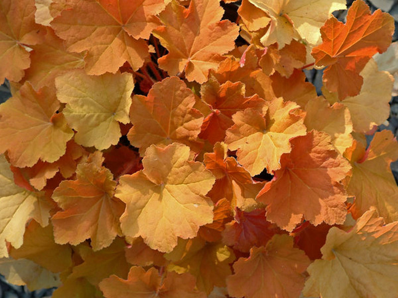 Heuchera Caramel Growing Guide to Create Appealing Gardening Landscape