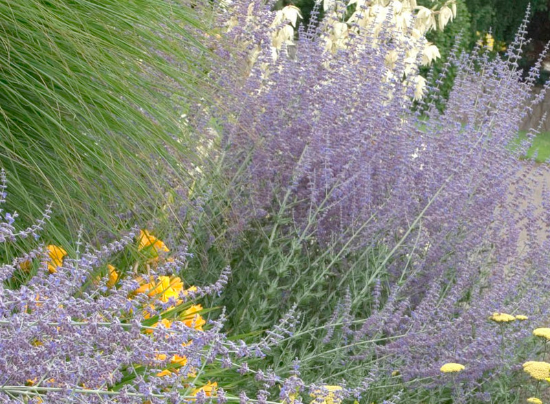 Little Spire Russian Sage as the Popular and Beautiful Landscaping Plant