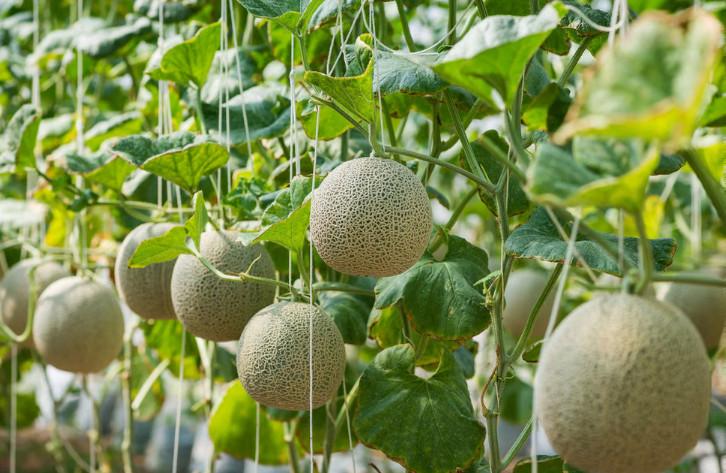Cantaloupe Companion Plants
